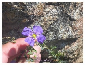Enjoying the beauty of a refreshingly purple flower amidst the mostly dry terrain.