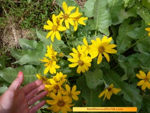 These yellow, daisy like flowers remind me of Rudebekia